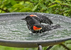 """<div class=""""jaDesc""""> <h4>Red-winged Blackbird Under Wing Wash - June 9, 2018</h4> <p>Beating the right wing into the water to clean the underside. </p></div>"""