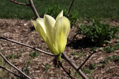 Precocious Magnolias