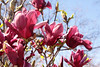 Most recent additions to Precocious Magnolias, Powell Gardens<br /> March 24, 2012<br /> <br /> O'Neill Magnolia