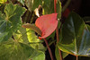 Powell Conservatory    March 10, 2012<br /> <br /> anthurium