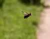 I call this a Hover Bee but I am not sure.  It flits around all the time and is hard for me to capture.<br /> April 1, 2012
