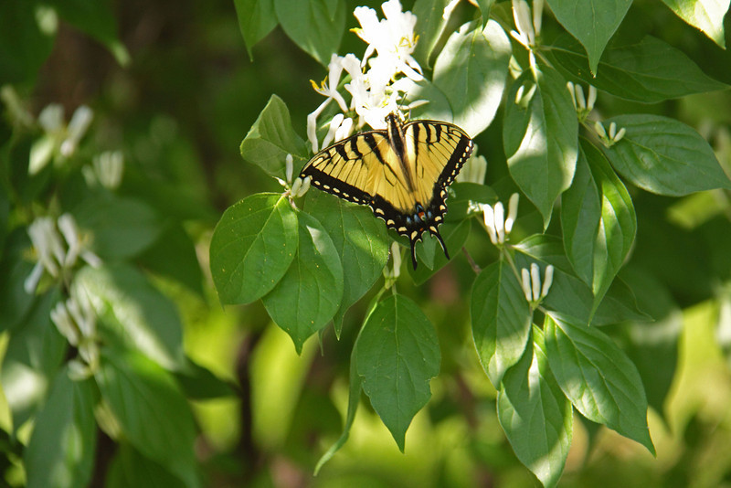 Tiger Swallowtail sipping honeysuckle nectar.  Strong winds made it difficult to photograph, at least that's my excuse.<br /> April 1, 2012