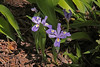 Powell Gardens   Kingsville, MO  April, 2012<br /> <br /> Christada Iris, a dwarf variety.