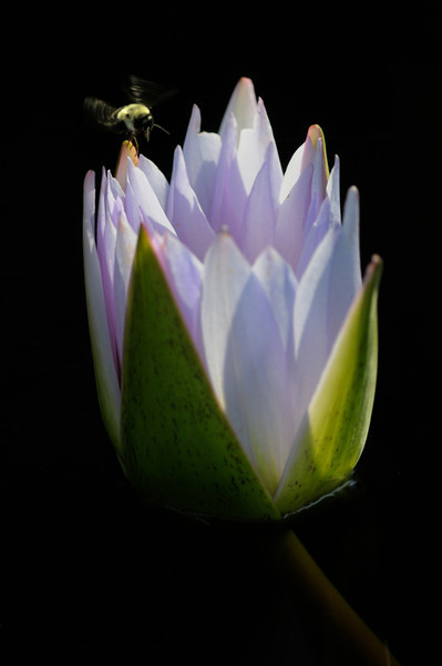Bee My Water Lily