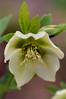 White Lenten-Rose Hellebore