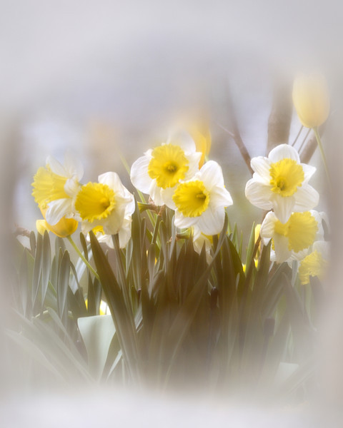 A Puddle of Daffodils (reflection)