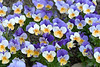 A Gathering of Violas