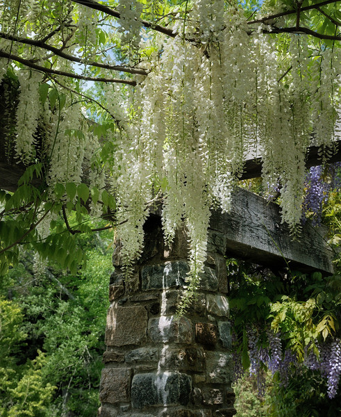 Cascading Wisteria at Chanticleer