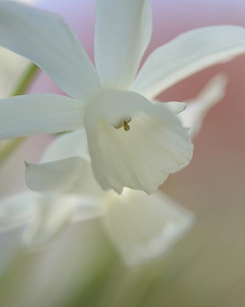 Backlit Daffodils at Cairnwood (1)