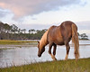 Pony of Chincoteague