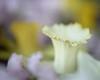 Daffodil Rim