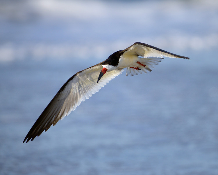 Black Skimmer Looking for a Place to Land