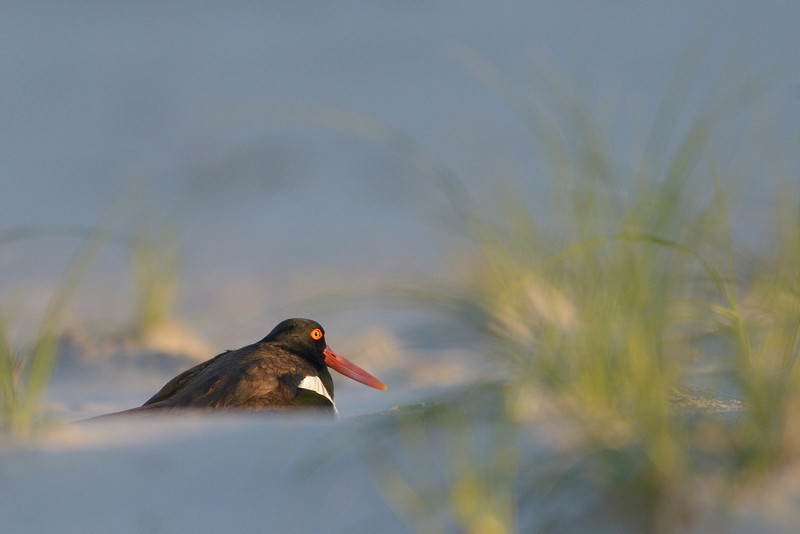 Nesting American Oyster Catcher