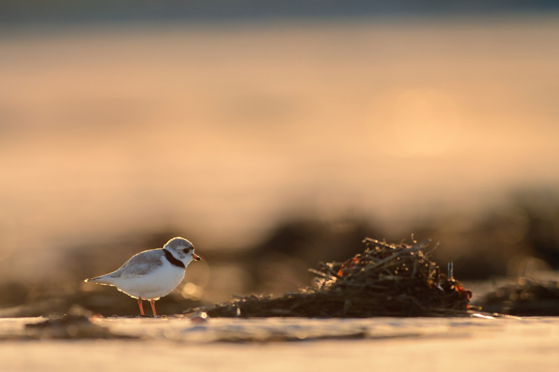 Piping Plover Backlit at Sunrise