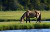 Old Stallion