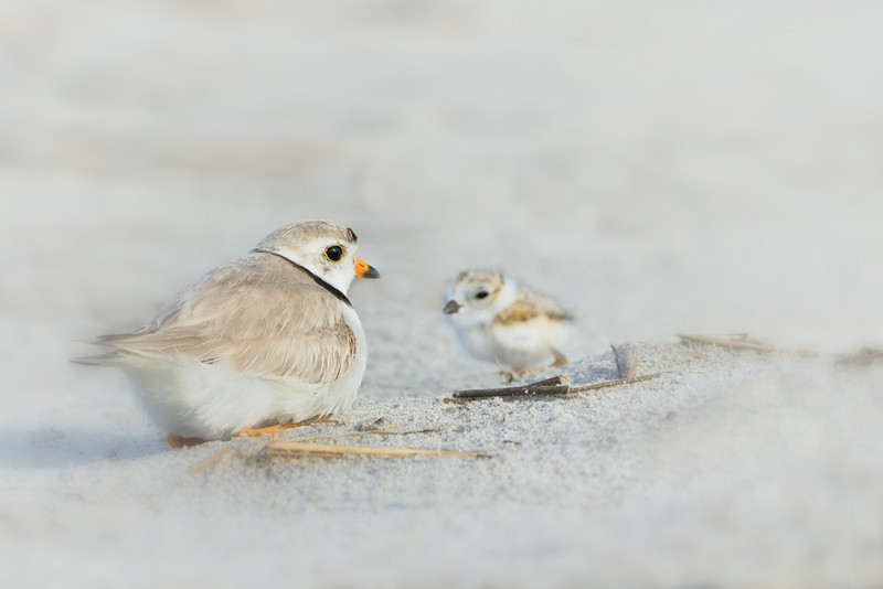 Mother With Chick