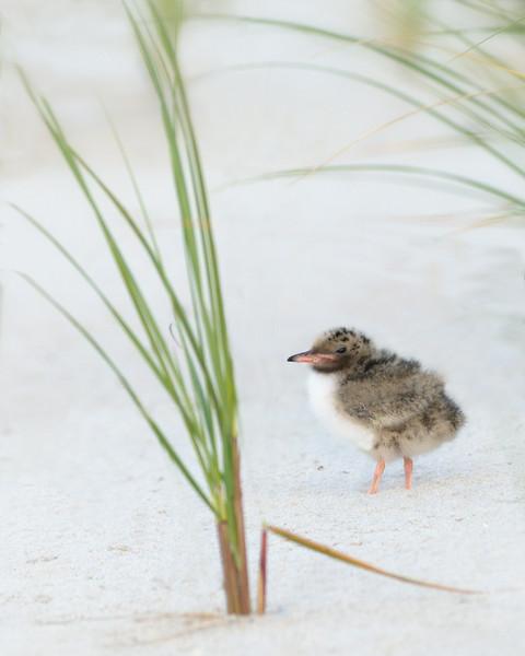 Lone Chick