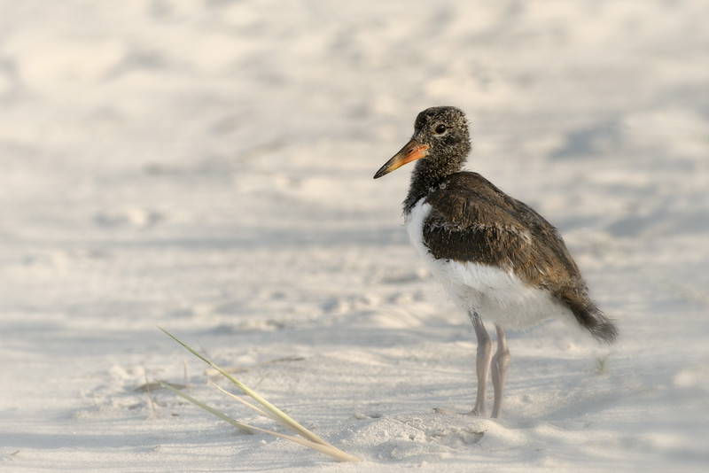 A Young American Oyster Catcher