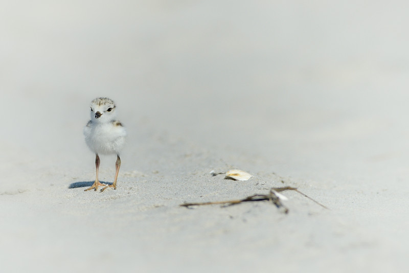 Piping Plover Chick Looking for Mom