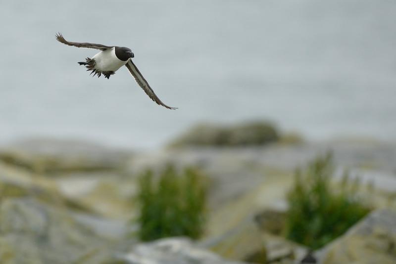 Razorbill Flying By