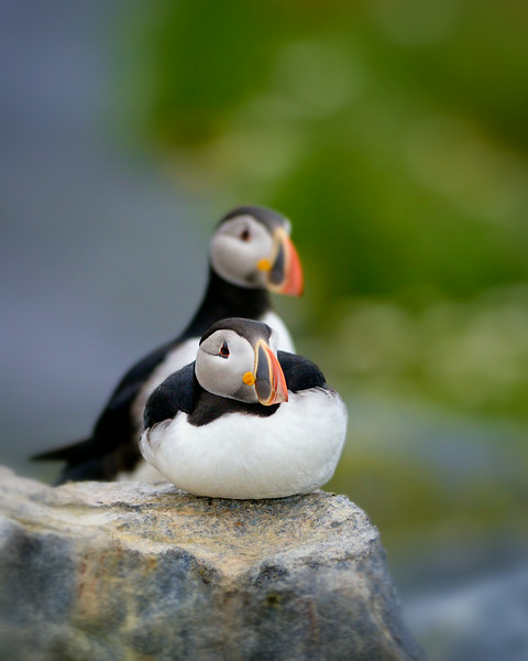 There once was a puffin just the shape of a muffin