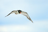 Oyster Catcher in Flight