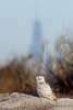 Freedom Tower & Snowy Owl