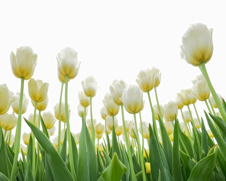 Tulips from Below