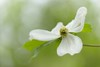 Delicate Dogwood Sheers