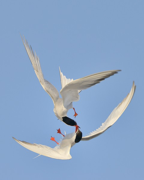 Battling Terns