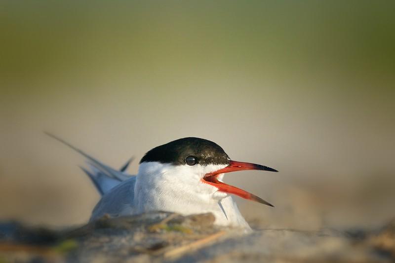 Nesting Tern