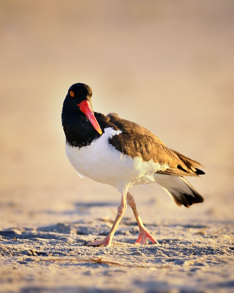 Oystercatcher in Morning Sun