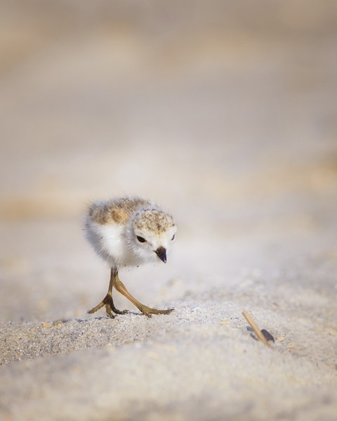 Piping Plover Chick