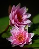 Twin Water Lilies