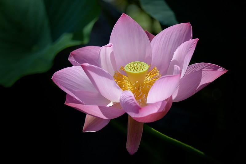 Longwood Lotus