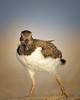 Juvenile Oystercatcher