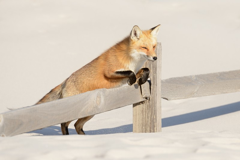 Fox Over Fence