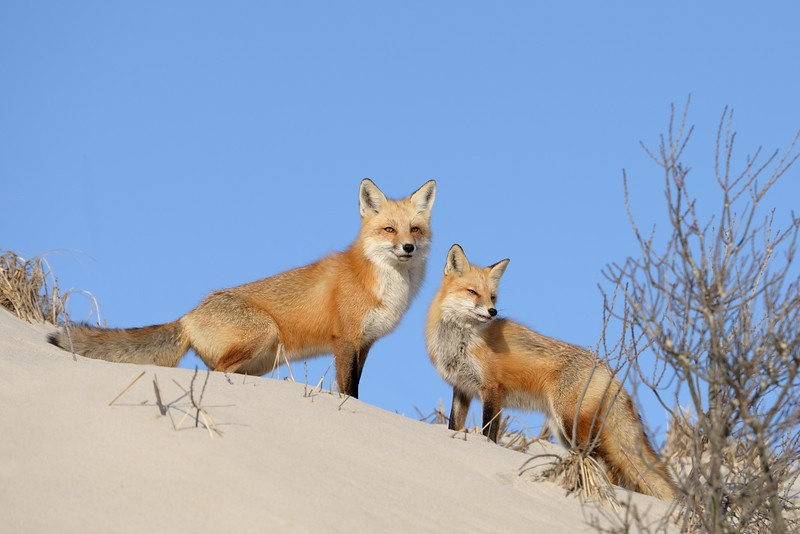 Foxes Keep the View