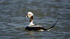 Long-tailed Duck Swimming By