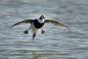 Long-tailed Duck With Flaps Down