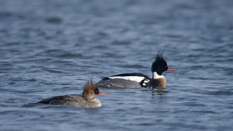 Male and Female Red-breasted Mergansers