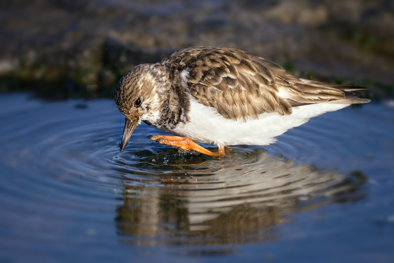 Ruddy Turnstone  Taking a Bath