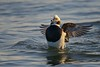 Long-tailed Duck Flapping