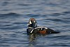 Harlequin Duck Passing By