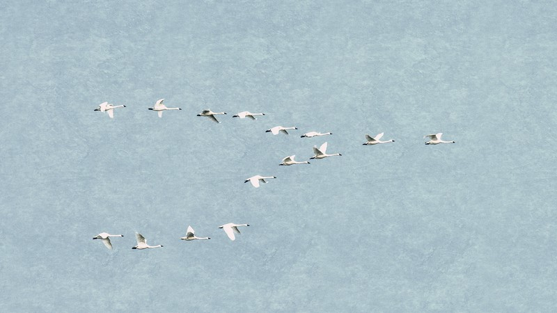 Tundra Swans in V-Formation