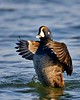 Harlequin Duck Stretching Its Wings