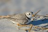Resting piping plover