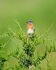 Eastern Bluebird On Cedar