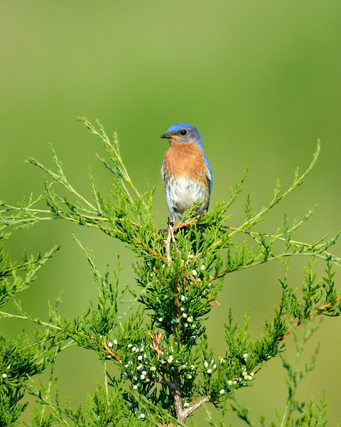 Eastern Bluebird On Juniper