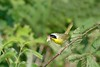 Insect-eating Common Yellowthroat Warbler